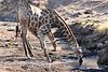 Giraffe_Mashatu_2019_Botswana_0029