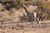 Giraffe_Mashatu_2019_Botswana_0003