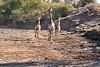 Giraffe_Mashatu_2019_Botswana_0033