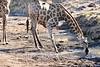 Giraffe_Mashatu_2019_Botswana_0031