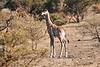 Giraffe_Mashatu_2019_Botswana_0005