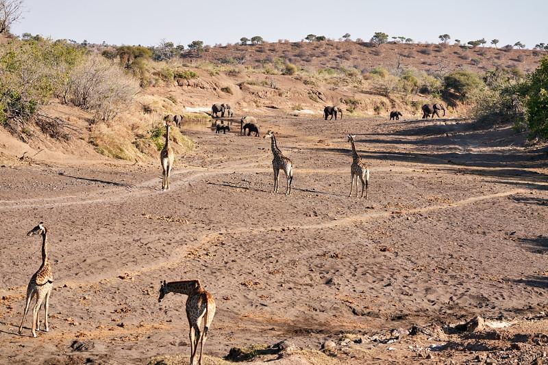 Giraffe_Mashatu_2019_Botswana_0024