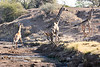 Giraffe_Mashatu_2019_Botswana_0036