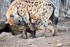 Happy_Hyena_Cub_Mashatu_2019_Botswana_0008