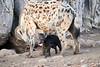 Happy_Hyena_Cub_Mashatu_2019_Botswana_0004