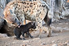 Happy_Hyena_Cub_Mashatu_2019_Botswana_0015