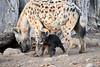Happy_Hyena_Cub_Mashatu_2019_Botswana_0006