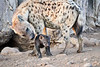 Happy_Hyena_Cub_Mashatu_2019_Botswana_0013