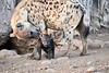 Happy_Hyena_Cub_Mashatu_2019_Botswana_0010