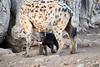 Happy_Hyena_Cub_Mashatu_2019_Botswana_0002