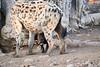 Happy_Hyena_Cub_Mashatu_2019_Botswana_0001