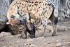 Happy_Hyena_Cub_Mashatu_2019_Botswana_0009