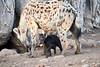 Happy_Hyena_Cub_Mashatu_2019_Botswana_0005