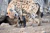 Happy_Hyena_Cub_Mashatu_2019_Botswana_0011