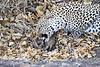 Leopard_Eating_Mongoose_Mashatu_2019_Botswana_0016