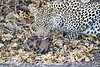 Leopard_Eating_Mongoose_Mashatu_2019_Botswana_0018