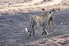 Leopard_Eating_Mongoose_Mashatu_2019_Botswana_0003