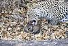 Leopard_Eating_Mongoose_Mashatu_2019_Botswana_0014