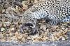 Leopard_Eating_Mongoose_Mashatu_2019_Botswana_0019