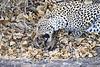 Leopard_Eating_Mongoose_Mashatu_2019_Botswana_0017