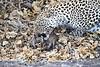 Leopard_Eating_Mongoose_Mashatu_2019_Botswana_0020