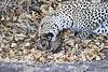 Leopard_Eating_Mongoose_Mashatu_2019_Botswana_0015