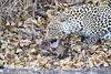 Leopard_Eating_Mongoose_Mashatu_2019_Botswana_0009