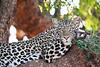Leopard_Mashatu_2019_Botswana_0111