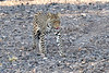 Leopard_Mashatu_2019_Botswana_0125