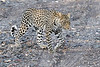 Leopard_Mashatu_2019_Botswana_0127