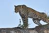 Leopard_Mashatu_2019_Botswana_0119