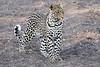 Leopard_Mashatu_2019_Botswana_0131