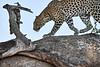 Leopard_Mashatu_2019_Botswana_0121