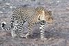 Leopard_Mashatu_2019_Botswana_0128