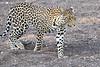 Leopard_Mashatu_2019_Botswana_0129