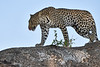 Leopard_Mashatu_2019_Botswana_0120