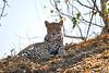 Leopard_Mashatu_2019_Botswana_0113