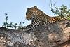 Leopard_Mashatu_2019_Botswana_0116