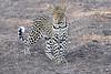 Leopard_Mashatu_2019_Botswana_0130