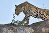Leopard_Mashatu_2019_Botswana_0117