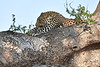 Leopard_Mashatu_2019_Botswana_0115