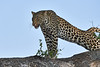 Leopard_Mashatu_2019_Botswana_0118