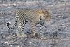 Leopard_Mashatu_2019_Botswana_0126