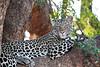Leopard_Mashatu_2019_Botswana_0112