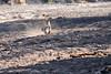 Leopard_Hunt_Chase_Kill_Mongoose_Mashatu_2019_Botswana_0008