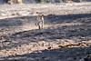 Leopard_Hunt_Chase_Kill_Mongoose_Mashatu_2019_Botswana_0009