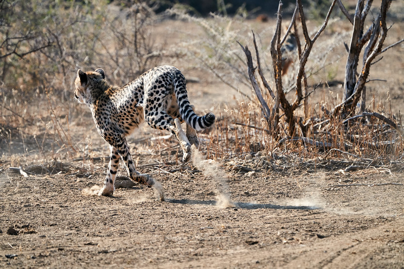 Cheetah_Run_Mashatu_2019_Botswana_0001