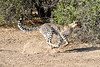 Cheetah_Run_Mashatu_2019_Botswana_0003