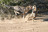 Cheetah_Run_Mashatu_2019_Botswana_0007