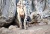 Spotted_Hyena_Cub_Mashatu_2019_Botswana_0023